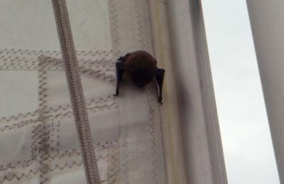 Fledermaus an der Naht des Großsegels