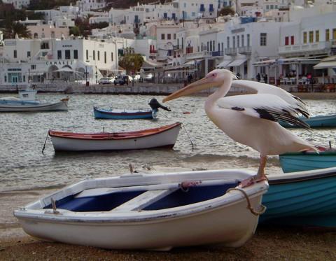 Pelikan in Mykonos