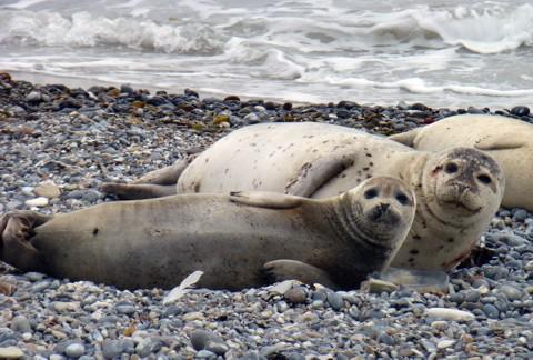 Robben Helgoland