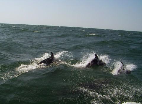 Delphine im Schwarzen Meer